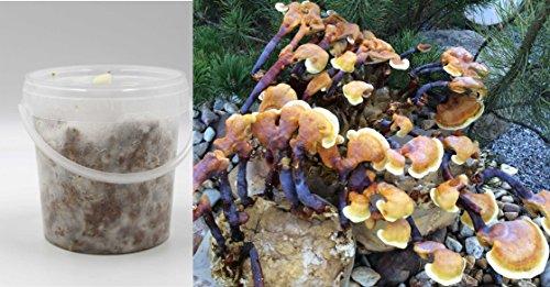 Bio Reishi/Ling Zhi Pilzbrut als Substratbrut in 1-Liter Eimer