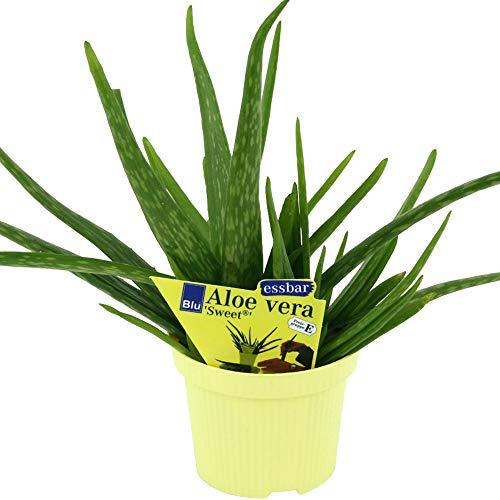 BIO- Aloe vera \'Sweet\'